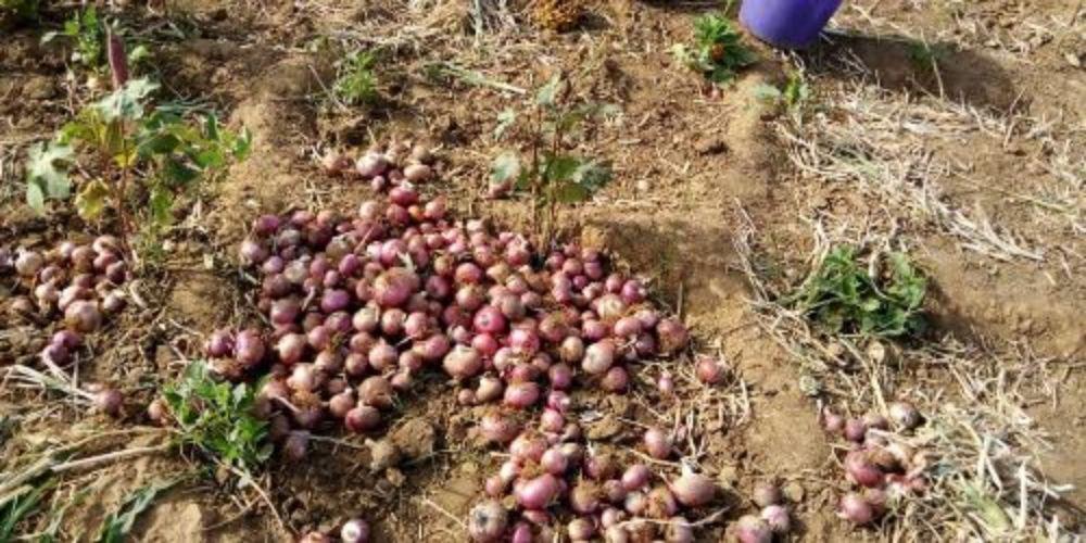 La Récolte des premiers oignons au jardin scolaire